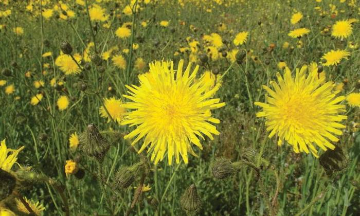 Noxious Weeds in YMM